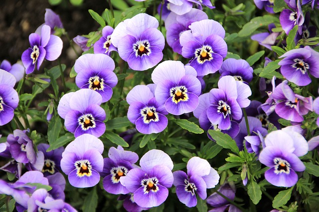 violets - The Significance of Flowers