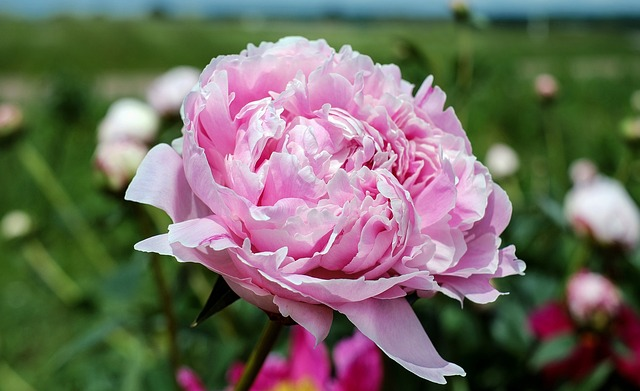 peonies - The Significance of Flowers