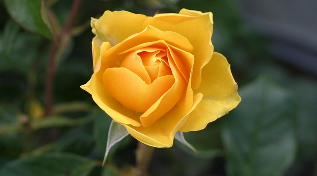 yellow roses - The Significance of Flowers