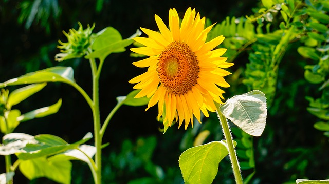 sunflowers - The Significance of Flowers